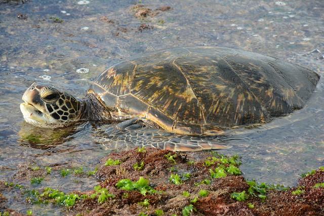 [] Pacific Green Sea Turtle ~ V. - Oahu North Shore []