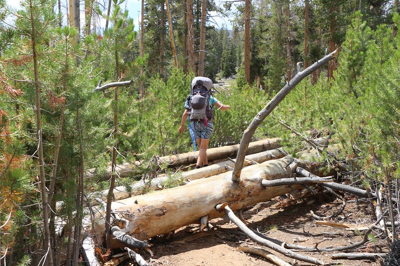 New young pines rose years after a fire but now the big burnt trunks have been falling across the High Sierra Trail
