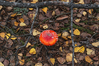 Top view, red amanita growing in the autumn forest