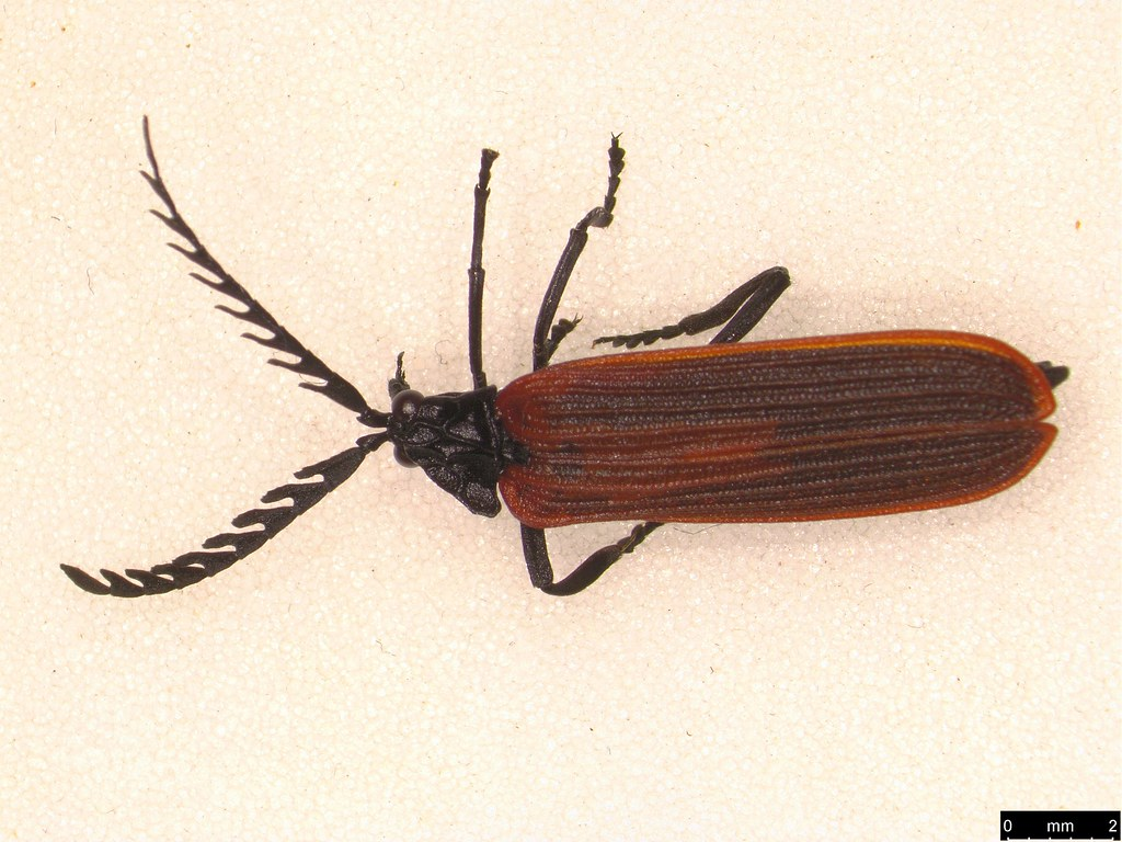 1 - Porrostoma rhipidius