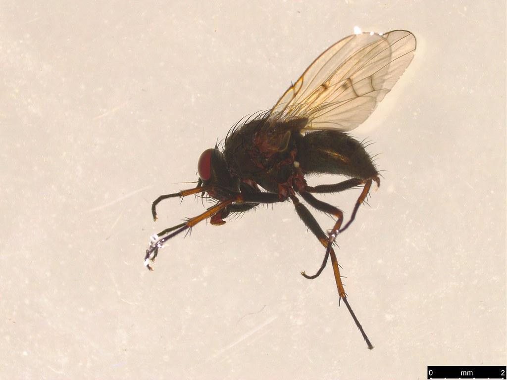 3a - Muscidae sp.