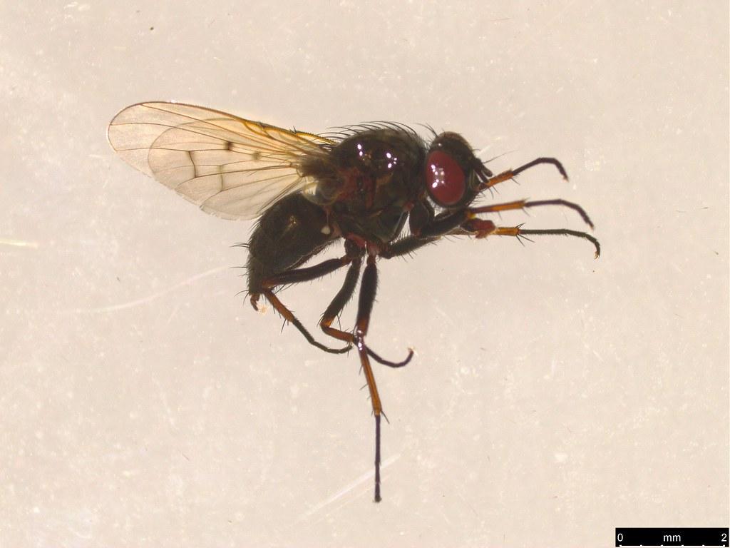 3b - Muscidae sp.