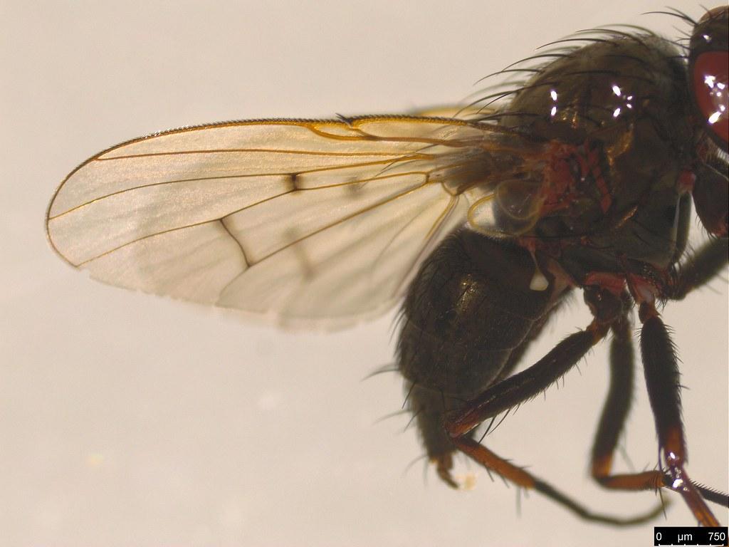 3c - Muscidae sp.