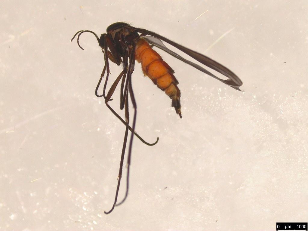 10 - Sciaridae sp.