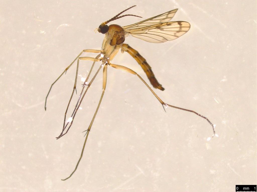 11 - Pyrtaula sp.