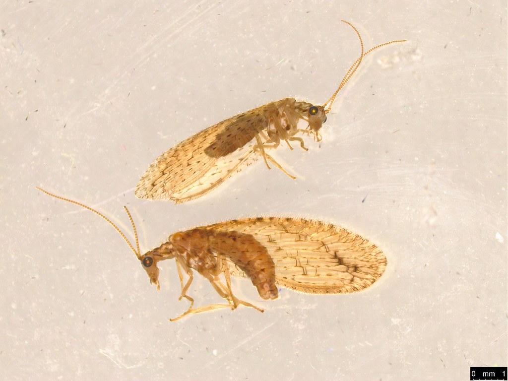 15 - Micromus tasmaniae