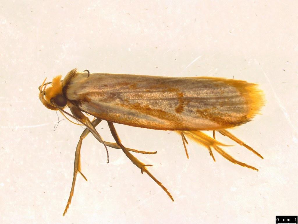 19 - Philobota cretacea