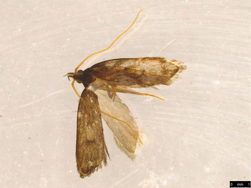 20 - Lecithoceridae sp.