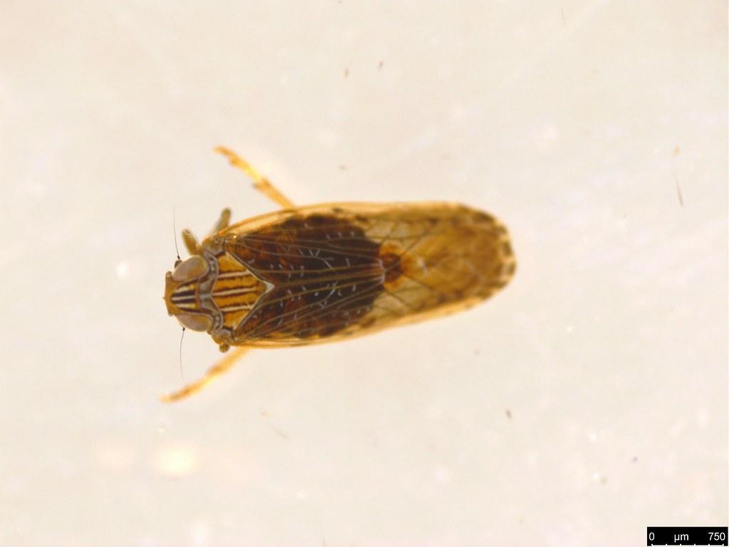 23a - Cercopidae sp.