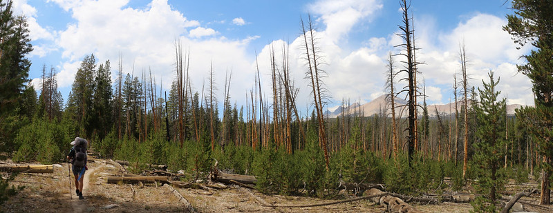 New-growth pine trees and old burnt trunks on the Chagoopa Plateau, with Mount Kaweah right of center