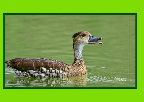 Yaguaza.(Dendrocygna arborea.) West indian whistling duck | by LOPEZ LUCIANO 7,000,000 VISITAS.GRACIAS....