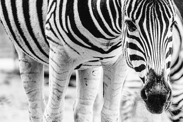 Zebra in BW