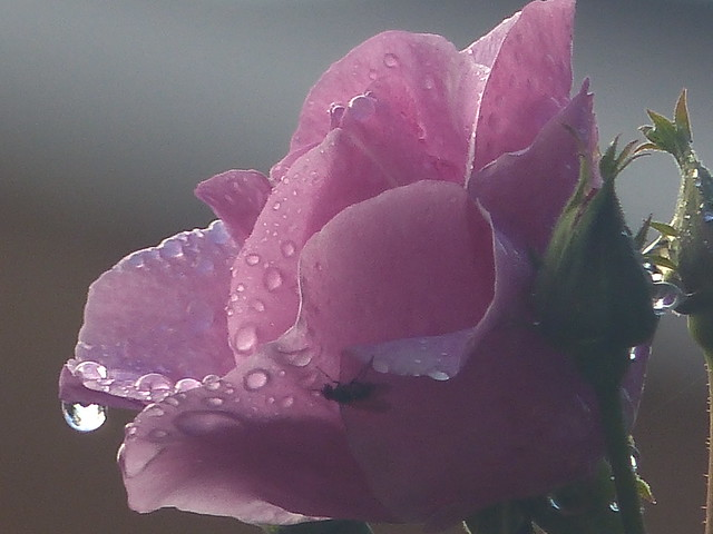 Raindrops on Pink Rose