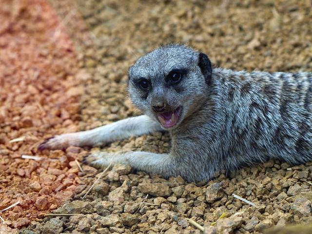 Indianapolis Zoo 07-28-2014 - Meerkat 2