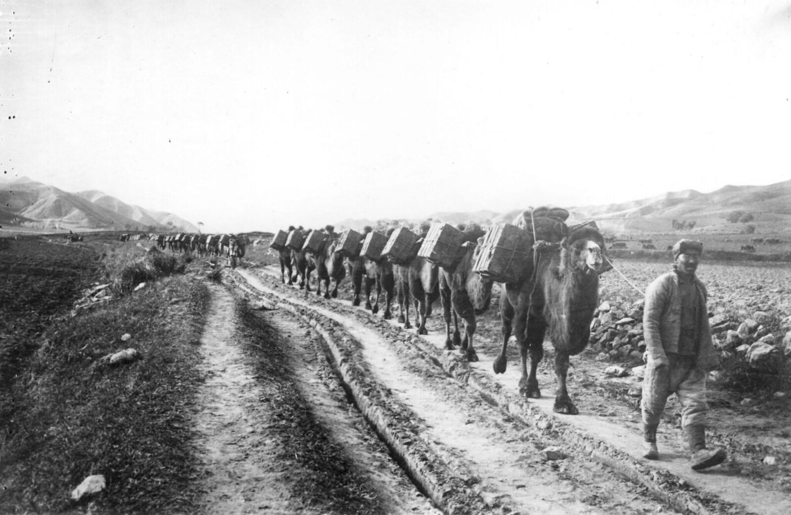 1923. Караван верблюдов, перевозящих провизию через пустыню Гоби