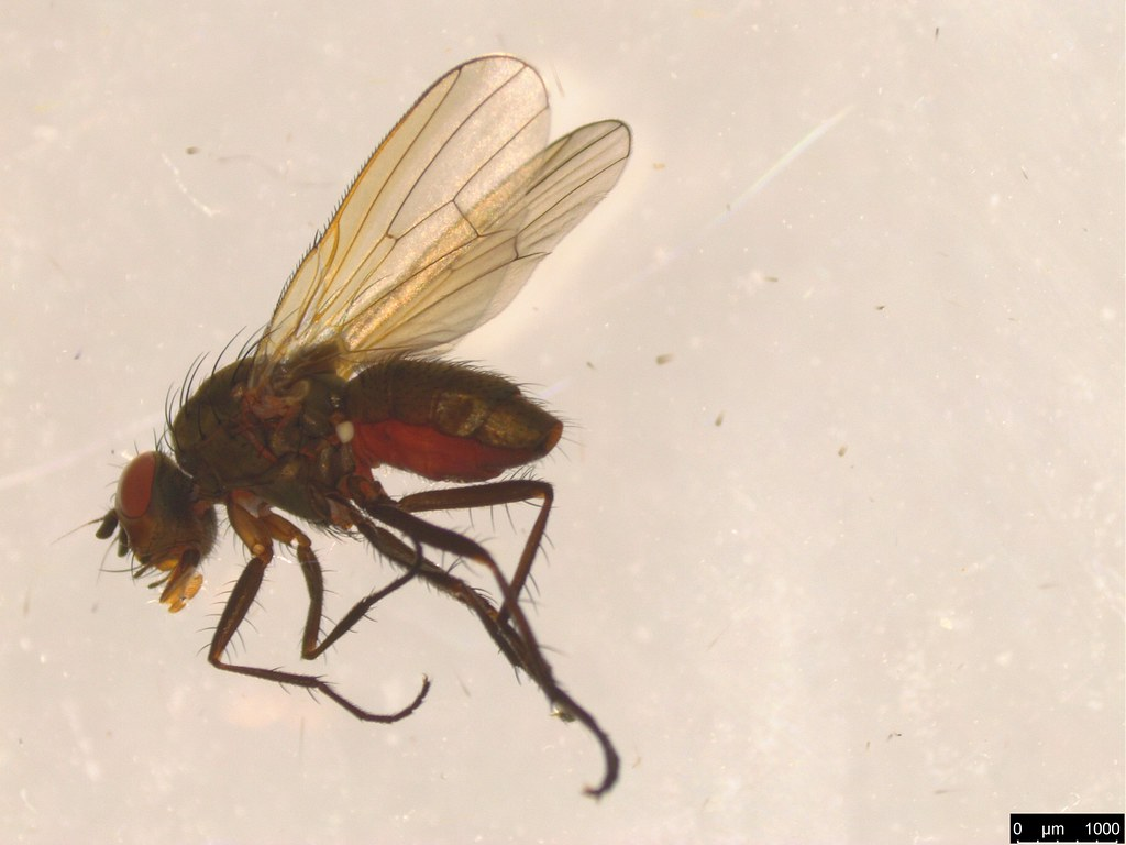 8a - Anthomyiidae sp.