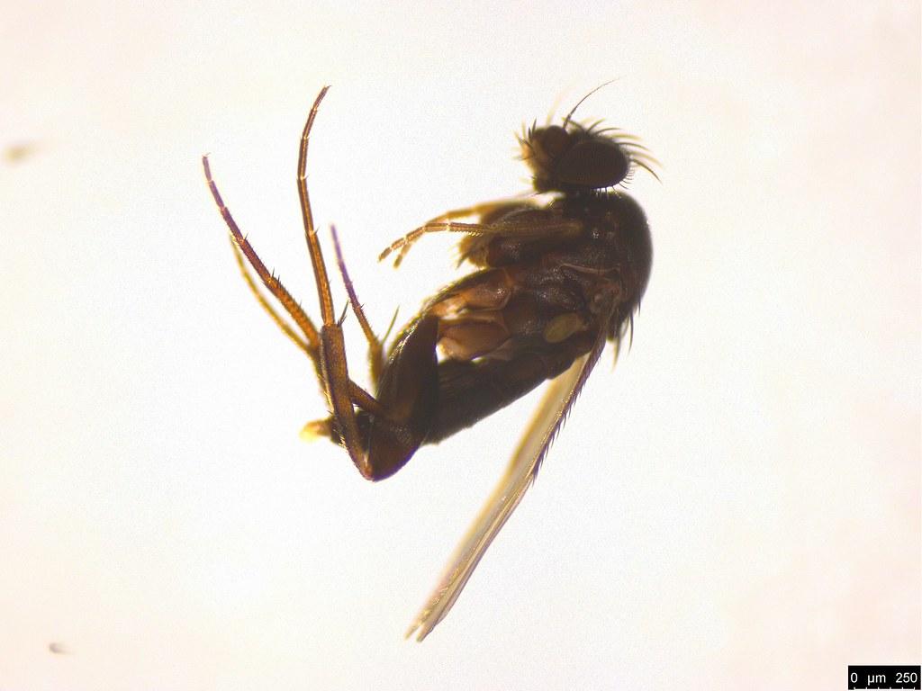 9 - Phoridae sp.