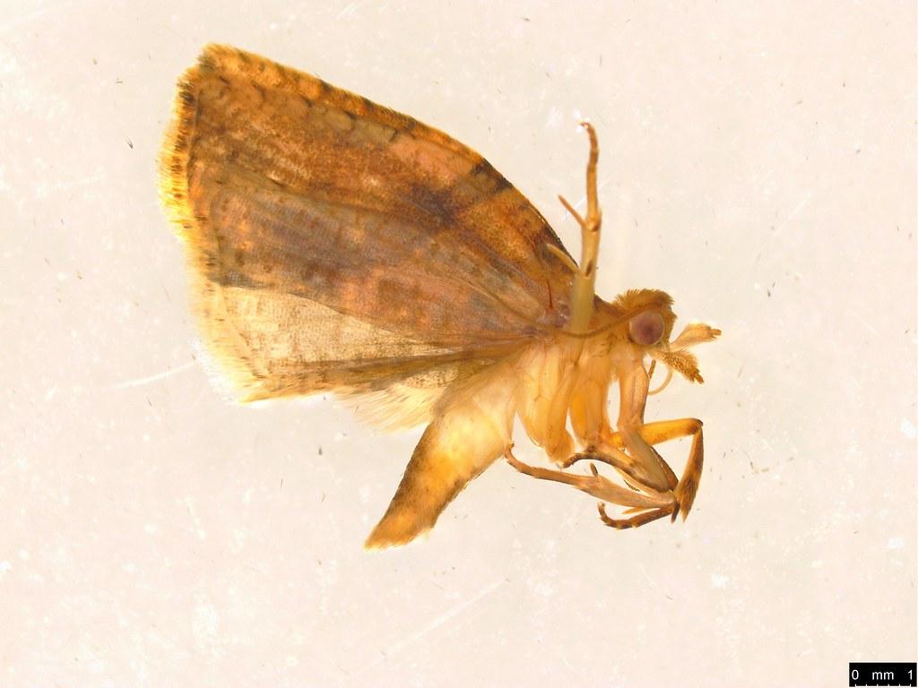 22 - Tortricinae sp.
