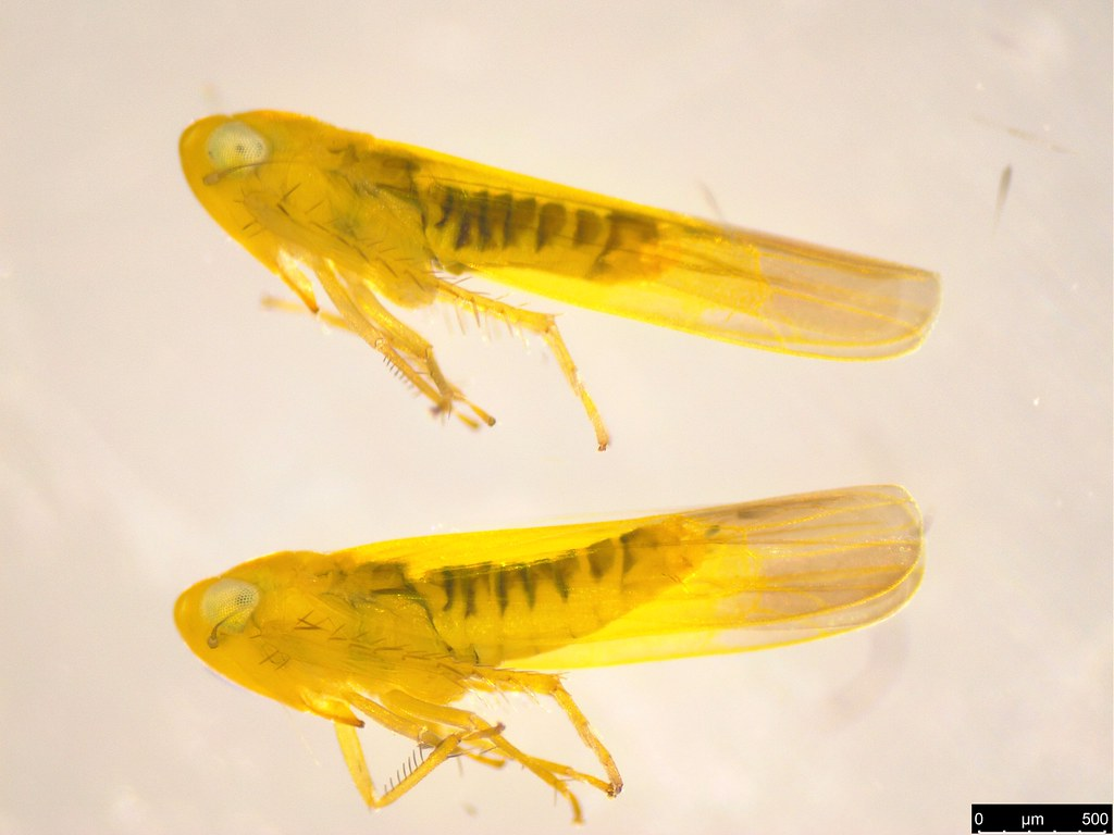 24 - Cicadellidae sp.
