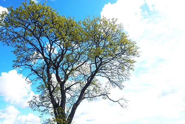 Acer platanoides (Sapindaceae) in flower (Siuntio, 20200512)
