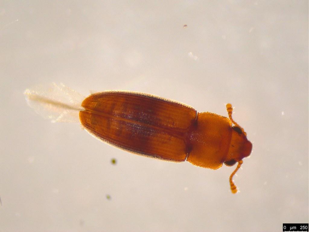 2a - Cucujoidea sp.