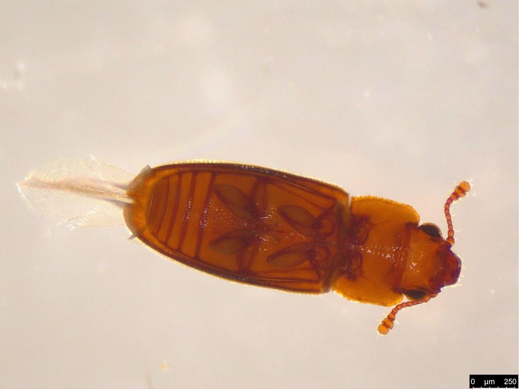 2b - Cucujoidea sp.