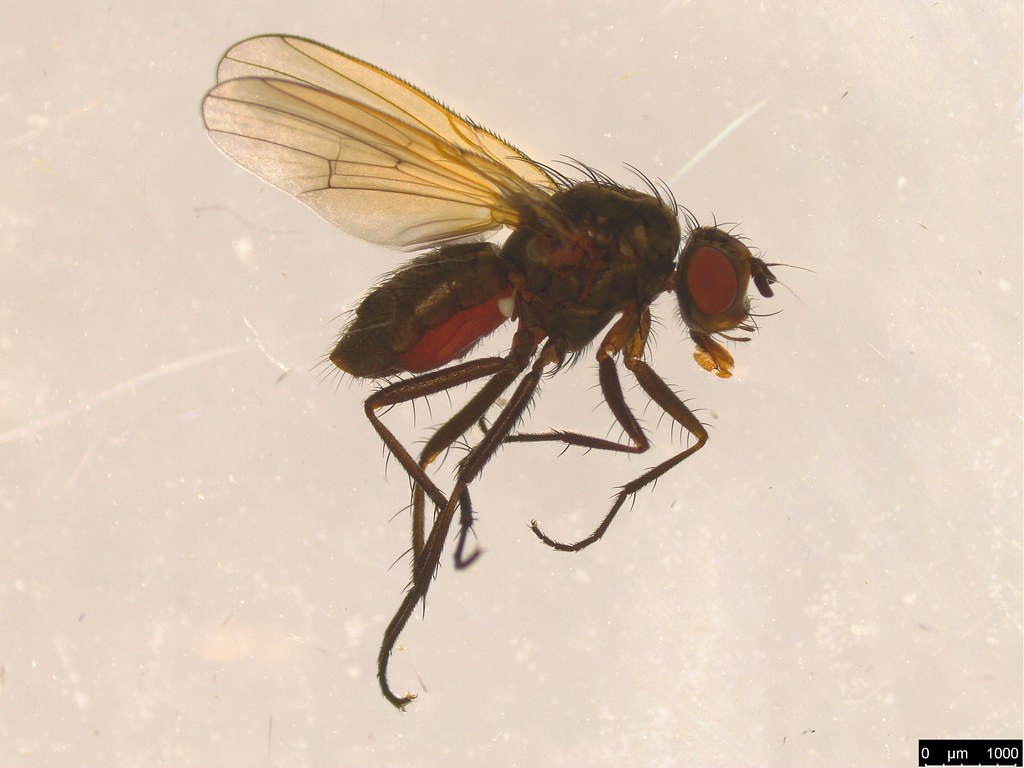 8b - Anthomyiidae sp.