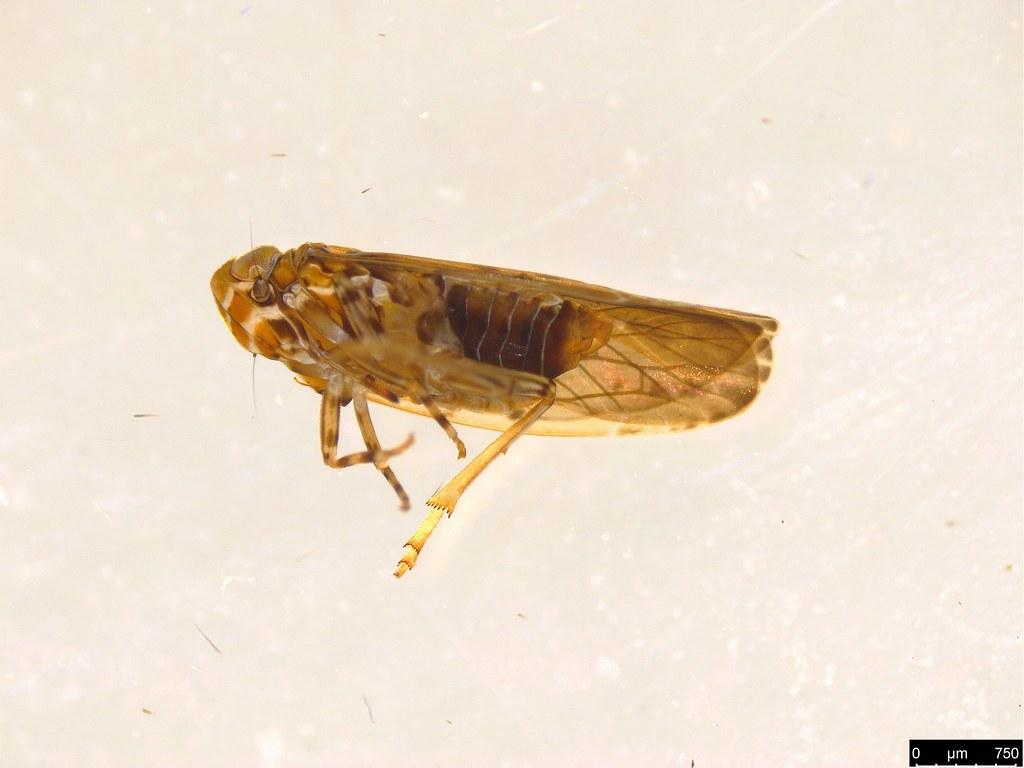 23b - Cercopidae sp.
