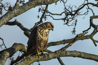Buzzard | by pgpicture