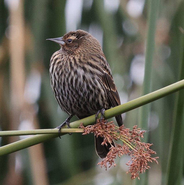 Red-winged Blackbird (Bicolored Form), f.