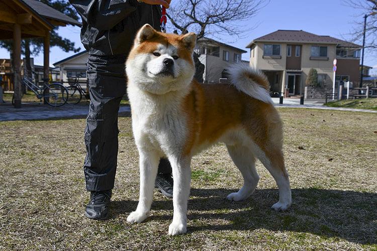 Anjing Akita lucu