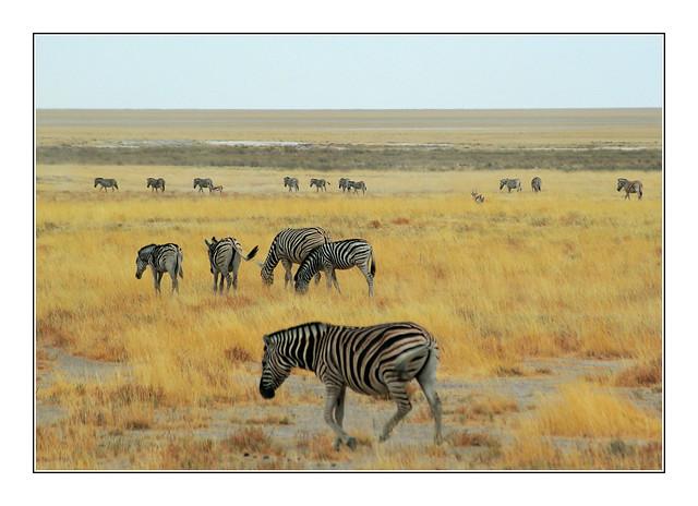 Zèbres / Etosha - Namibie