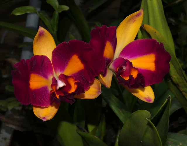 Cattlianthe Tropical Aurora peloric hybrid orchid