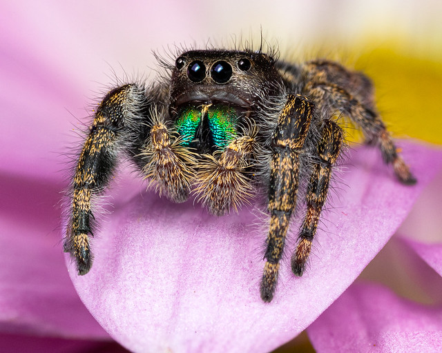 Stoic Bold Jumping Spider Pondering The Meaning Of Life