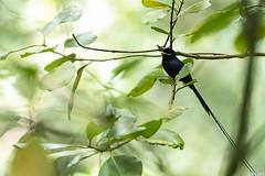 Tchitrec des Seychelles mâle