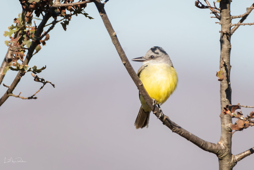 Tropical Kingbird (2nd look)
