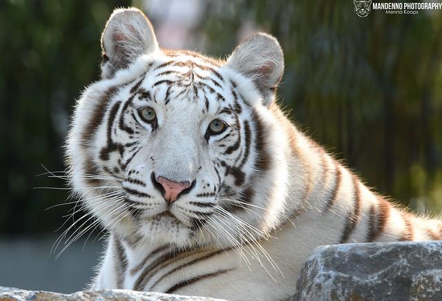 Bengal white tigress - Pakawipark