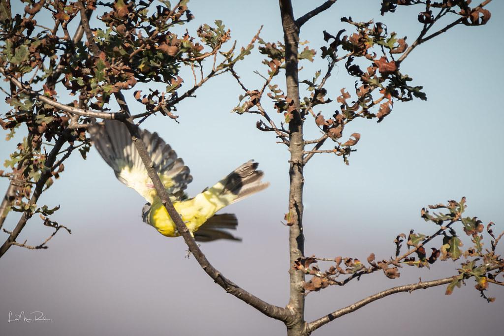 Tropical Kingbird Takes Off