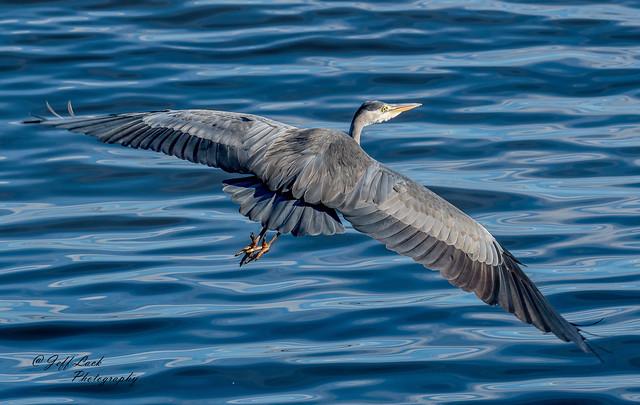DSC3562  Grey Heron...
