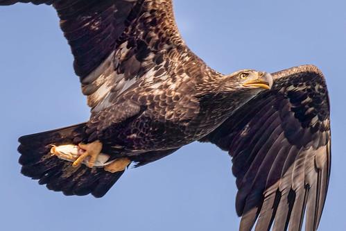 2020 202011nov 20201109conowingoeagles birds canon7dmkii conowingo eagle fall flightshot maryland november us
