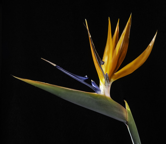 Bird Of Paradise Flower With Back Light