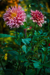 Simply Dahlias
