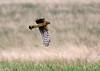 Hen Harrier (Circus cyaneus) Blå kärrhök