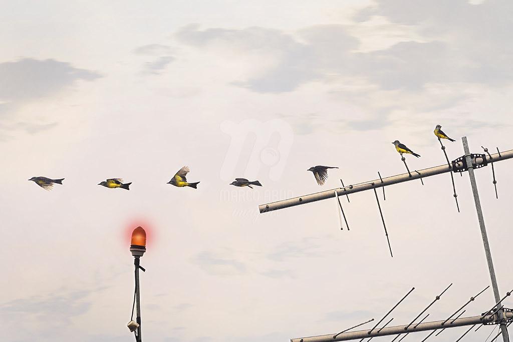 Suiriri | Tropical Kingbird | Tyrannus melancholicus