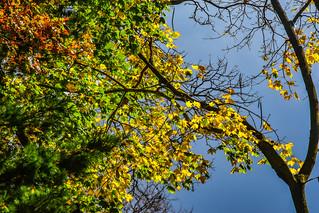 OMFD Fall Tree & Sky