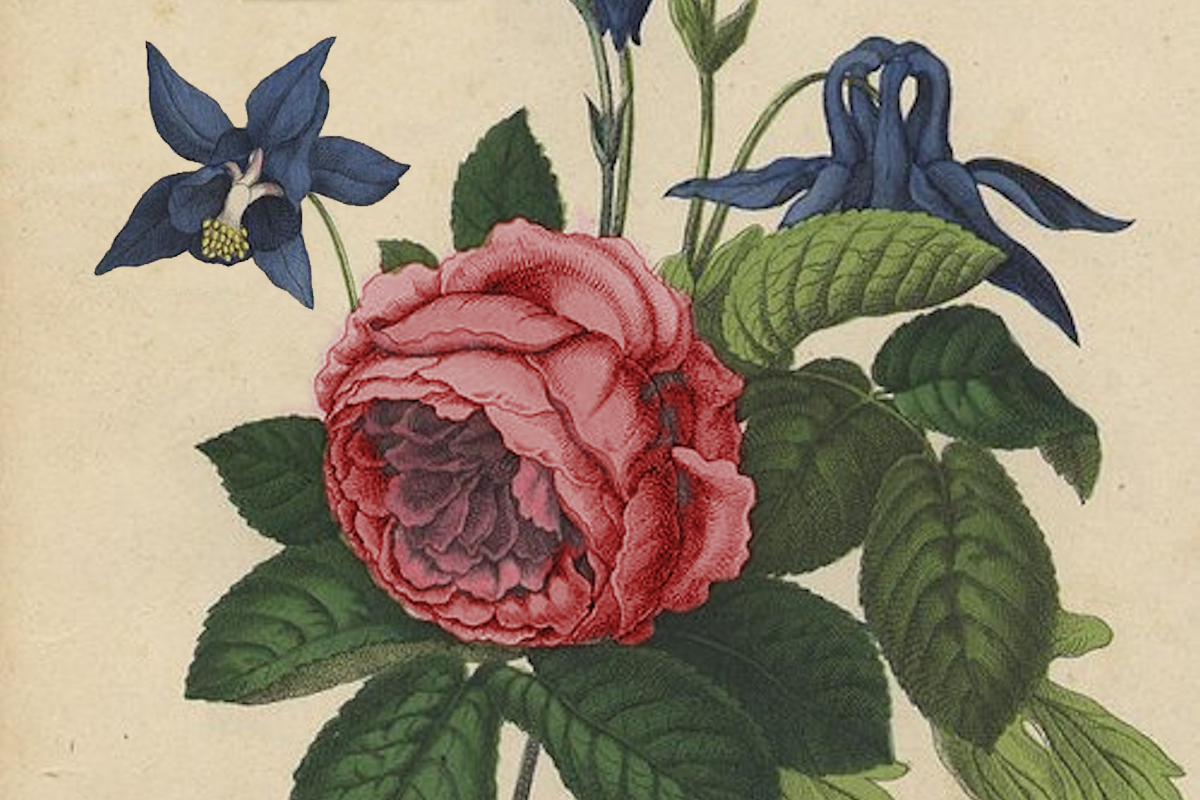 Old style botanical drawing of a rose and violets
