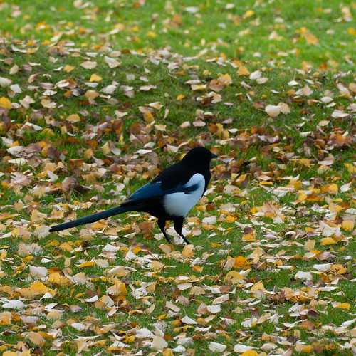 Bold magpie (bunkered)
