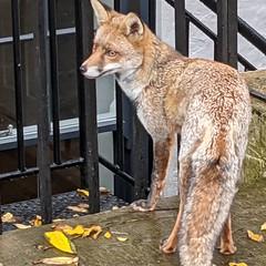 Urban fox in Islington