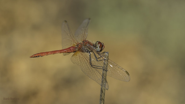 Sympetrum fonscolombii. Adult male.