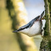 The Beautiful Nuthatch